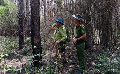 Bắt 3 nghi phạm 'hạ sát' 3.500 cây thông 20 năm tuổi