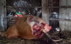 Bò cái mang thai bị cắt hai chân sau ngay tại chuồng
