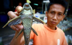 Cá lau kính tràn ngập, Thái Lan mời đầu bếp chỉ dân cách ăn