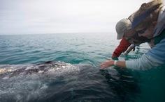 Lần đầu ghi được âm thanh của loài cá voi hiếm nhất thế giới