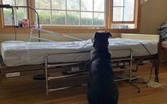 Đứt ruột hình ảnh chú chó ngồi bên giường bệnh chờ chủ đã mất