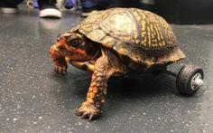 Bánh xe lăn sáng tạo cứu chú rùa khuyết tật