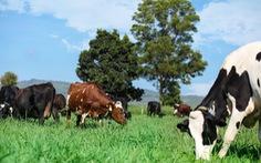 Ngạc nhiên nơi bò được chăm sóc bằng vườn thuốc nam