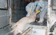 Tồn trữ, giết mổ gia súc trái phép sẽ bị khám xét nhà