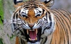 Vì sao hổ liên tiếp tấn công người nhưng vẫn cho nuôi giữa khu dân cư?