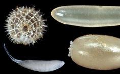 Vì sao trứng côn trùng có nhiều hình dáng lạ?