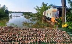 Cá lóc phơi khô trên đường về Hồng Ngự