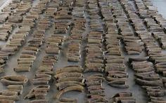 Singapore thu giữ 8,8 tấn ngà voi trên đường đến Việt Nam