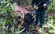 Bò tót khoảng 800kg chết già trong khu bảo tồn