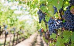 Khám phá con đường rượu vang Toscany - miền trung nước Ý