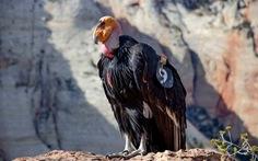 Loài chim lớn nhất Bắc Mỹ có lúc chỉ còn 22 con 'hồi sinh' kỳ diệu