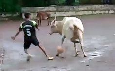 """Video 'Vui nhộn"""" với chú bò giữ bóng chắc hơn cả... Messi !"""