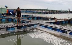 Hai ba năm qua sống khỏe, cá bè Long Sơn lại bất ngờ chết hàng loạt