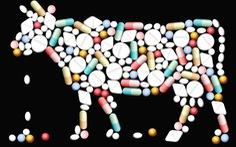 Chất kháng sinh trong thịt
