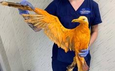 Bác sĩ thú y hoảng hồn khi thấy hải âu màu cam