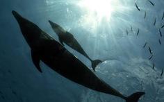 Kinh ngạc cá heo nhận nuôi cá voi