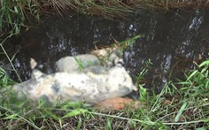 TP.HCM phê bình lãnh đạo xã để heo bệnh chết vứt ra môi trường