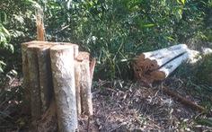 Tạm giữ hình sự 4 người cưa hơn 50m3 gỗ