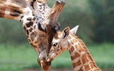 Hươu cao cổ chính thức vào danh sách loài nguy cơ tuyệt chủng