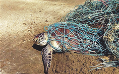 Rùa biển bị vướng túi nilông gì?