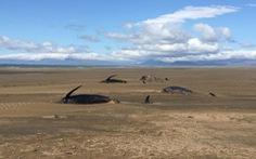 Thêm đàn cá voi mắc cạn, chết bí ẩn ở Iceland chỉ trong nửa tháng