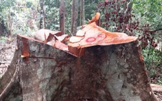 Khởi tố vụ án hình sự phá rừng ở Quảng Nam