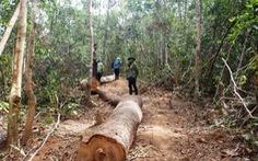 Chủ tịch xã lấy gỗ tang vật của lâm tặc... đem về nhà