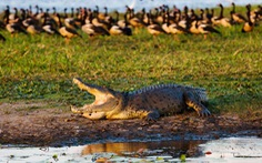 Cá sấu đuổi theo giành miếng ăn với người câu cá