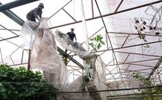 Người Đà Lạt dỡ nhà kính để trồng vườn 'truyền thống'