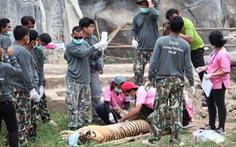 86 con hổ được cứu khỏi một ngôi chùa ở Thái Lan đã chết
