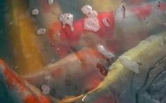 Video: Lắp camera bảo vệ cá Koi cả ngày lẫn đêm trên sông Tô Lịch