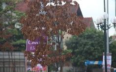 Cây xanh trên con đường đẹp nhất tỉnh chết hàng loạt sau 3 năm trồng