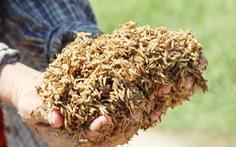 Nông dân Hà Tĩnh xót xa cắt lúa lên mầm sau mưa lũ