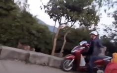 Bị cả đoàn khỉ trên núi Sơn Trà truy đuổi vì bắt khỉ con