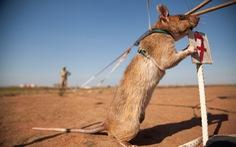 Những 'đội quân chuột' có một không hai