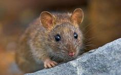 Nơi duy nhất trên thế giới 'quét sạch' loài chuột