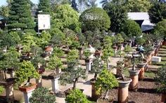 Hai Lúa mần bonsai bạc tỉ