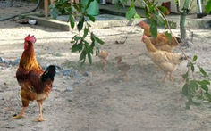 'Xách gà lên Sài Gòn cho con ăn tết, nó không lấy tui xách dìa lại'