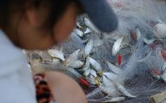 Nhớ quá con cá mòi tươi rói vùng biển ngang miền Trung