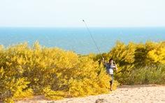 Cung đường biển Nam Trung Bộ rực sắc hoa tràm vàng