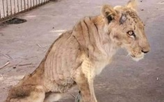 Chúa sơn lâm chỉ còn da bọc xương trong vườn thú châu Phi