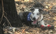 Chú chó dũng cảm giải cứu koala gặp nạn trong cháy rừng ở Úc