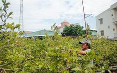 Sài Gòn mưa trái mùa, có ảnh hưởng mai tết?