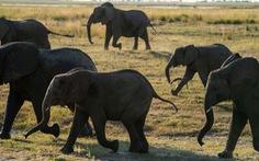 Bị voi quăng, quật nhiều lần, vẫn sống sót nhờ giả chết