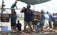 Sau nhiều tháng 'lao dốc', giá cá tra bắt đầu  'nhích' lên gần 23.000 đồng/kg