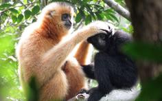 Chăng dây làm 'cầu' để cứu loài vượn cực hiếm khỏi tuyệt chủng