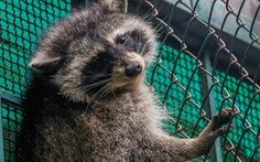 Gấu mèo 'di cư' trong container đông lạnh từ Mỹ sang Việt Nam