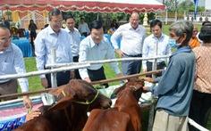 Nguyên chủ tịch nước Trương Tấn Sang trao tặng 200 con bò giống cho hộ nghèo