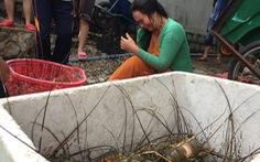 Vịnh Xuân Đài: tôm chết, người nuôi trắng tay