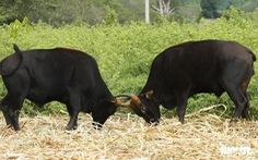 Một thập niên bò tót về làng